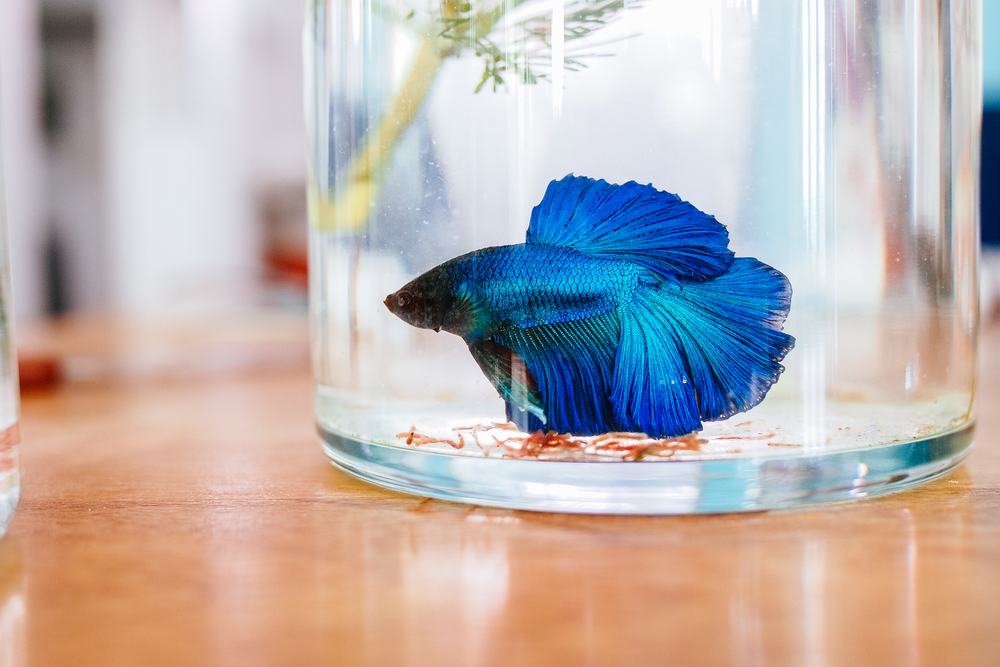 blue betta fish swimming in a glass jar