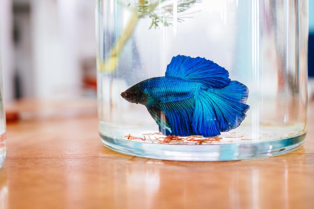blue betta fish swimming in a glass jar