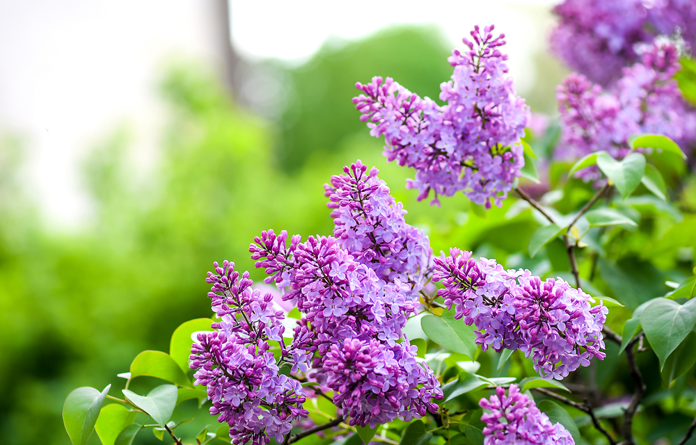 purple lilac bush blooming